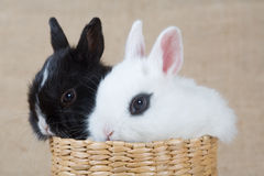 Two Bunny In The Basket Stock Image