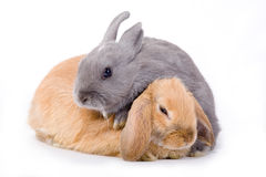 Two bunny, isolated Stock Image