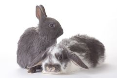 Two Bunny, Isolated Royalty Free Stock Photos