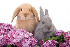 Two bunny among the lilac Stock Images