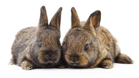 Two bunny rabbits. Stock Image