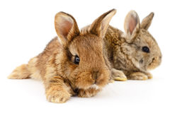 Two bunny rabbits. Stock Photography