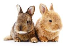 Two bunny rabbits. Stock Photography