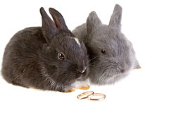 Two bunny and a wedding rings Stock Image