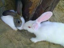 Two Bunnys. Two Rabbits KISSING Stock Image