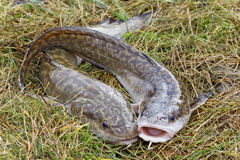 Two burbot lying on the grass Stock Photography