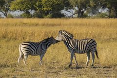 Zebra couple Royalty Free Stock Photo