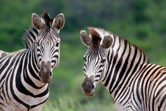 Two Burchell's Zebra Royalty Free Stock Photography
