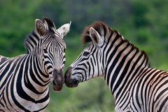Two Burchell's Zebra Royalty Free Stock Photos