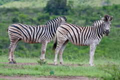 Two Burchell's Zebra. (equus quagga burchellii) in Hluhluwe iMfolozi park South Africa Royalty Free Stock Photography