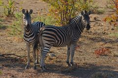 Two Burchell`s Zebra Equus burchelli resting in the shadow. Kruger national park, South Africa. Two Burchell`s Zebra Equus burchelli resting in the shadow of Royalty Free Stock Image