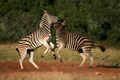 Two burchell zebra fighting and jumping Stock Photos