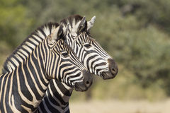 Two Burchells Zebra, South Africa. Two Burchells or plains Zebra (Equus quagga), in South Africa's Kruger park Royalty Free Stock Photo