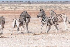 Two Burchells zebra stallions getting ready to attack each other Royalty Free Stock Photography