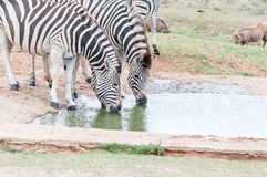 Two Burchells zebras drinking Royalty Free Stock Photo