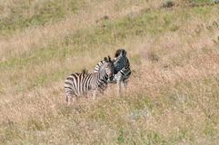 Two Burchells zebras, Equus quagga burchellii, interacting. At Golden Gate in the Free State Province of South Africa Royalty Free Stock Photos