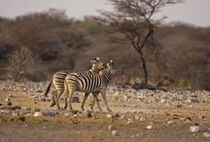 Two Burchells Zebras playing in field Stock Image