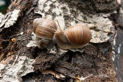 Two Burgundy snails Helix, Roman snail, edible snail, escargot. Roman Snail - Helix pomatia. Helix pomatia, common names the Roman, Burgundy, Edible snail or Royalty Free Stock Images