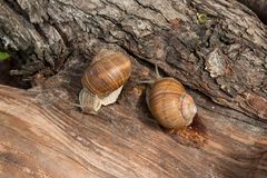 Two Burgundy snails Helix, Roman snail, edible snail, escargot. Roman Snail - Helix pomatia. Helix pomatia, common names the Roman, Burgundy, Edible snail or Stock Image