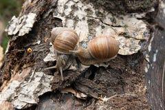 Two Burgundy snails Helix, Roman snail, edible snail, escargot. Roman Snail - Helix pomatia. Helix pomatia, common names the Roman, Burgundy, Edible snail or Royalty Free Stock Photos