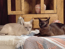 Two burmese cats Stock Image