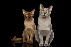 Two Burmese Cats on isolated black background. Two Burmese Cats Sitting and Looking in camera on isolated black background with reflection, front view royalty free stock image