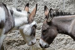 Two burros Stock Photo