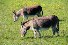 Two Burros or Donkeys Grazing Royalty Free Stock Image
