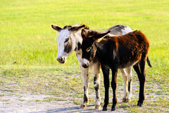 Two Burros Royalty Free Stock Images