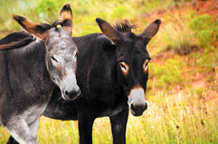 Two Burros Royalty Free Stock Photos
