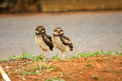 Two Burrowing Owls. Two Baby Brazilian Burrowing Owls Stock Image