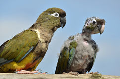 Two Burrowing Parrots Royalty Free Stock Image