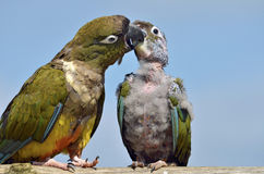 Two Burrowing Parrots Stock Image