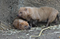 Two bush dogs Royalty Free Stock Photo