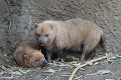 Two bush dogs 2 Stock Image