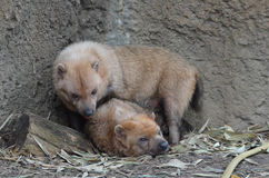Two bush dogs 4 Royalty Free Stock Images