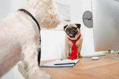 Business dogs in office. Two business dogs in neckties looking at each other in office Stock Photos