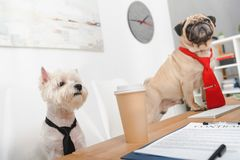 Business dogs in office. Two business dogs in neckties working together office Stock Photos