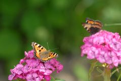 Two butterfies on pink flowers Stock Photography