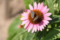 Two butterflies. On one flower royalty free stock photography