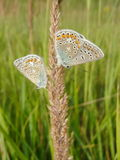 Two butterflies Stock Images