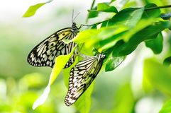Free Two Butterflies Royalty Free Stock Photos - 23929398