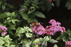 Two butterflies. Are flying around the flower in summer Royalty Free Stock Image