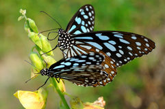 Two butterflies. Stop on flower buds to collect honey Royalty Free Stock Photo