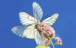 Two butterflies. Two butterflies their wings sitting on a flower on the background of blue sky royalty free stock photography