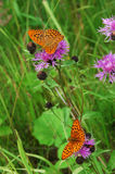 Two butterflies. Two beautiful butterflies on pink flowers Stock Images