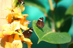 Free Two Butterflies Stock Photography - 3294752
