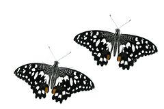 Two butterflies Stock Image