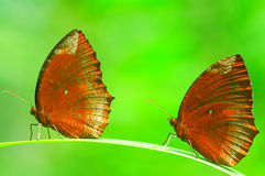 Free Two Butterflies Stock Photo - 6465740