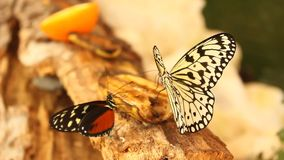 Two butterflies on a banana. Moving wings stock footage